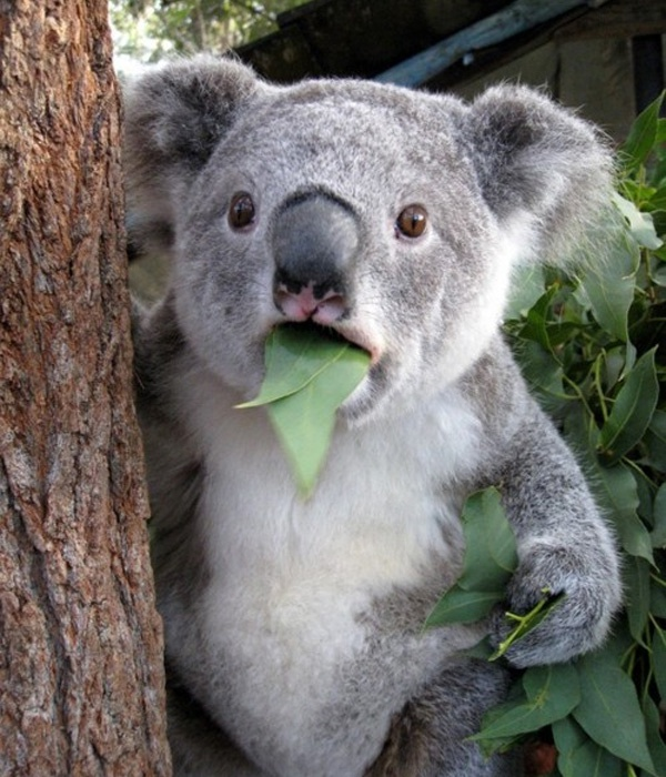 surprised koala is surprised